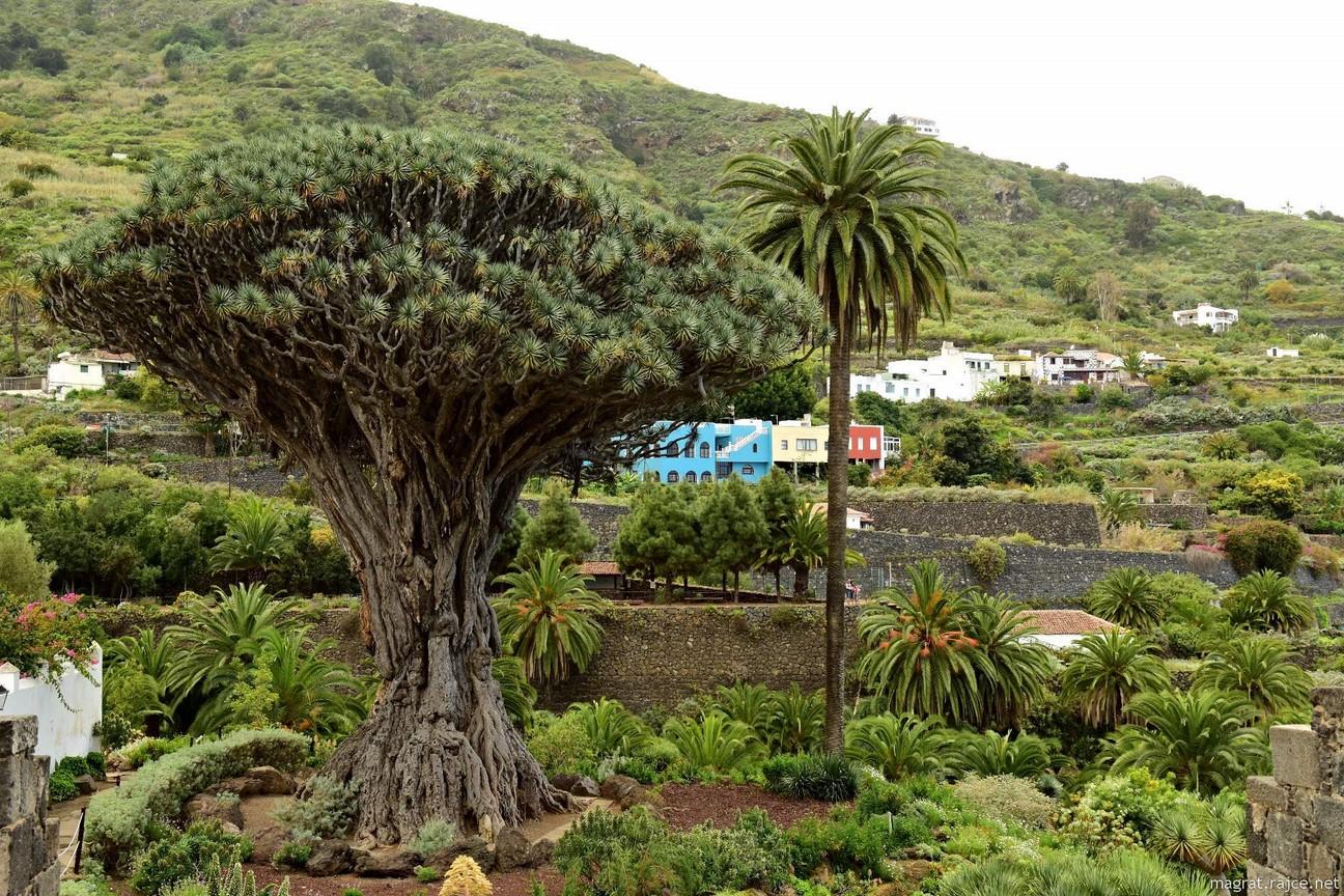 Dračí strom v parku