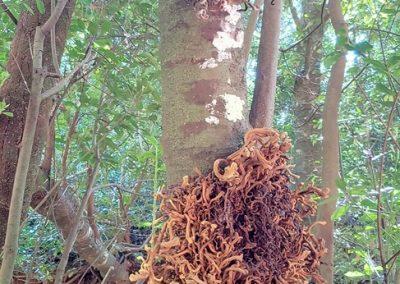 strom v Anaze